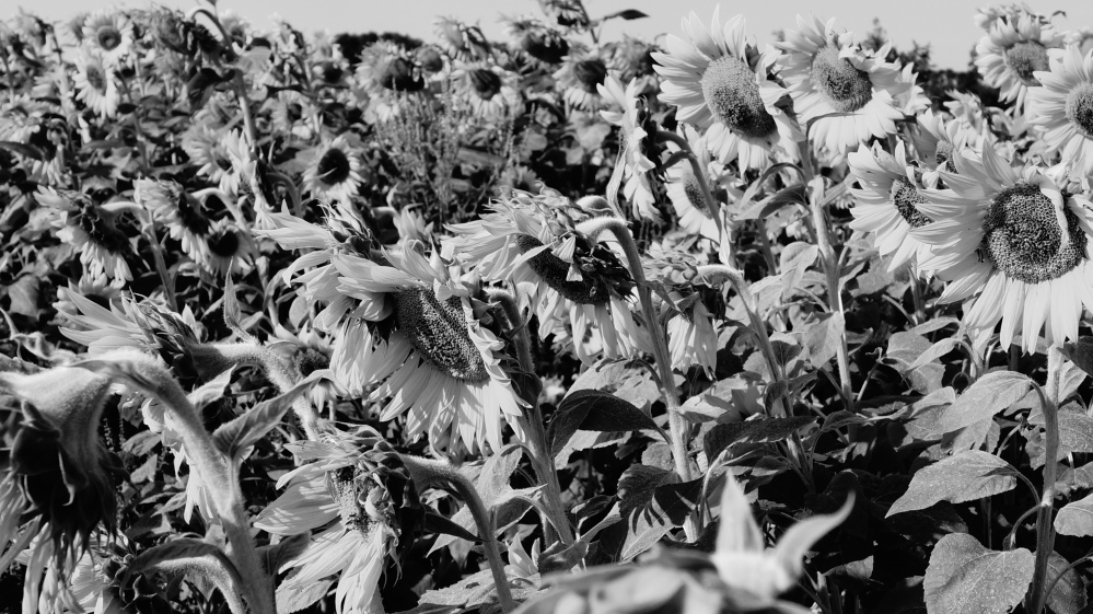 sunflowers b&w